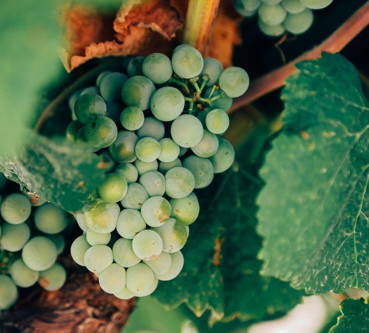 Weinherstellung