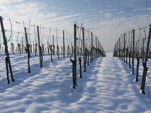 Prädikatswein Eiswein Weinberg mit Schnee Weingüteklassen