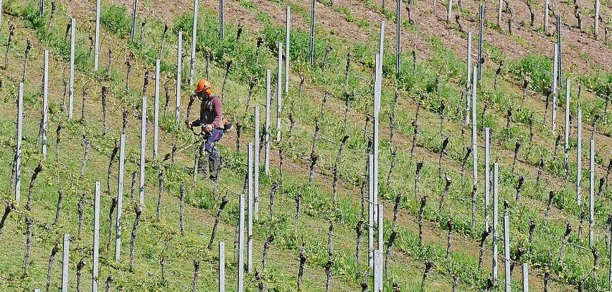 Arbeit auf dem Weinberg für Biowein